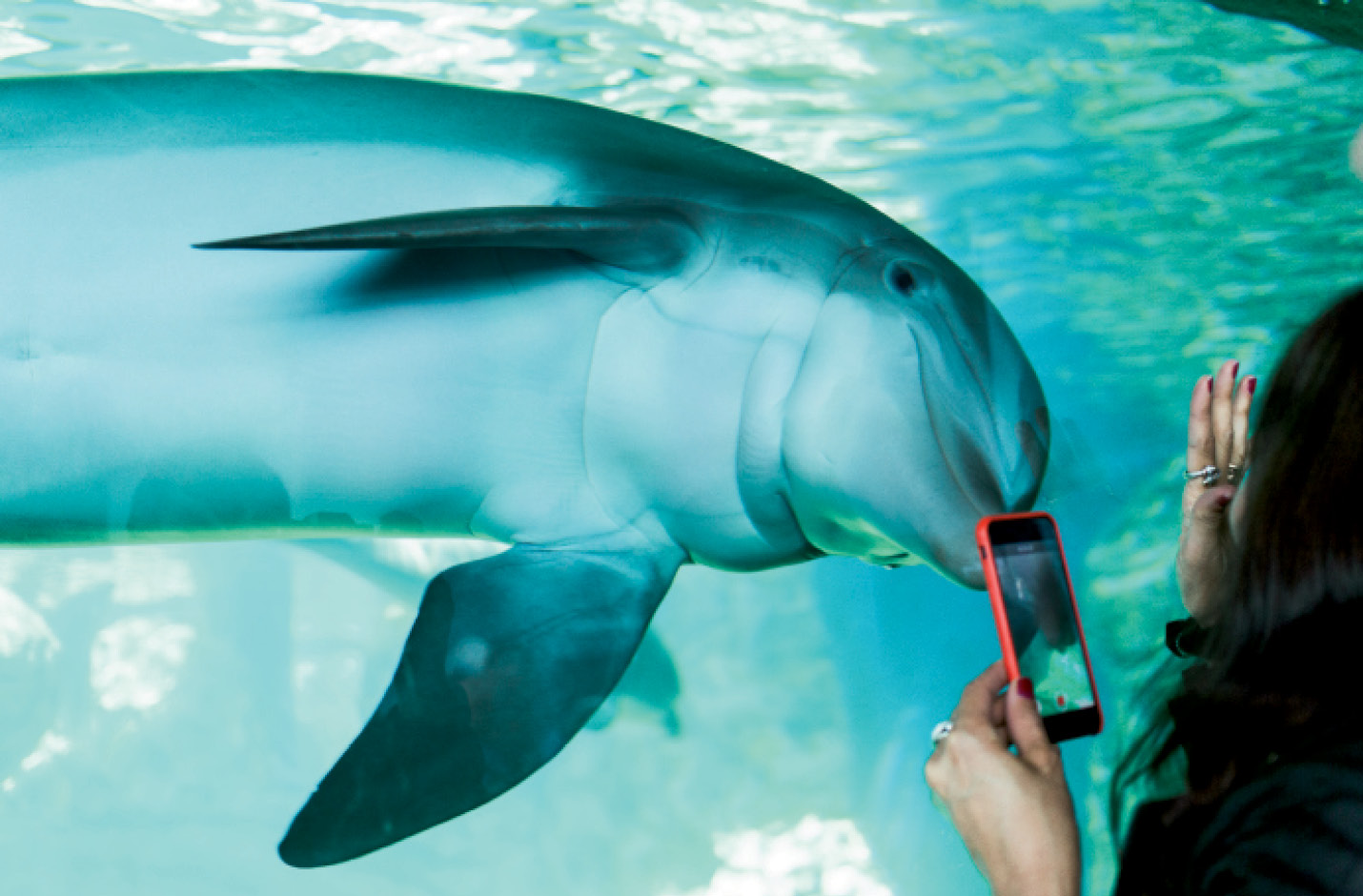 """Captivating & Captive: The Marine Mammal Protection Act prohibits the """"take"""" of wild marine mammals, including dolphins, without a permit. Some animals born in captivity remain in controlled environments, such as at Marineland, a former amusement park in Florida that's now part of the Georgia Aquarium dolphin conservation program."""