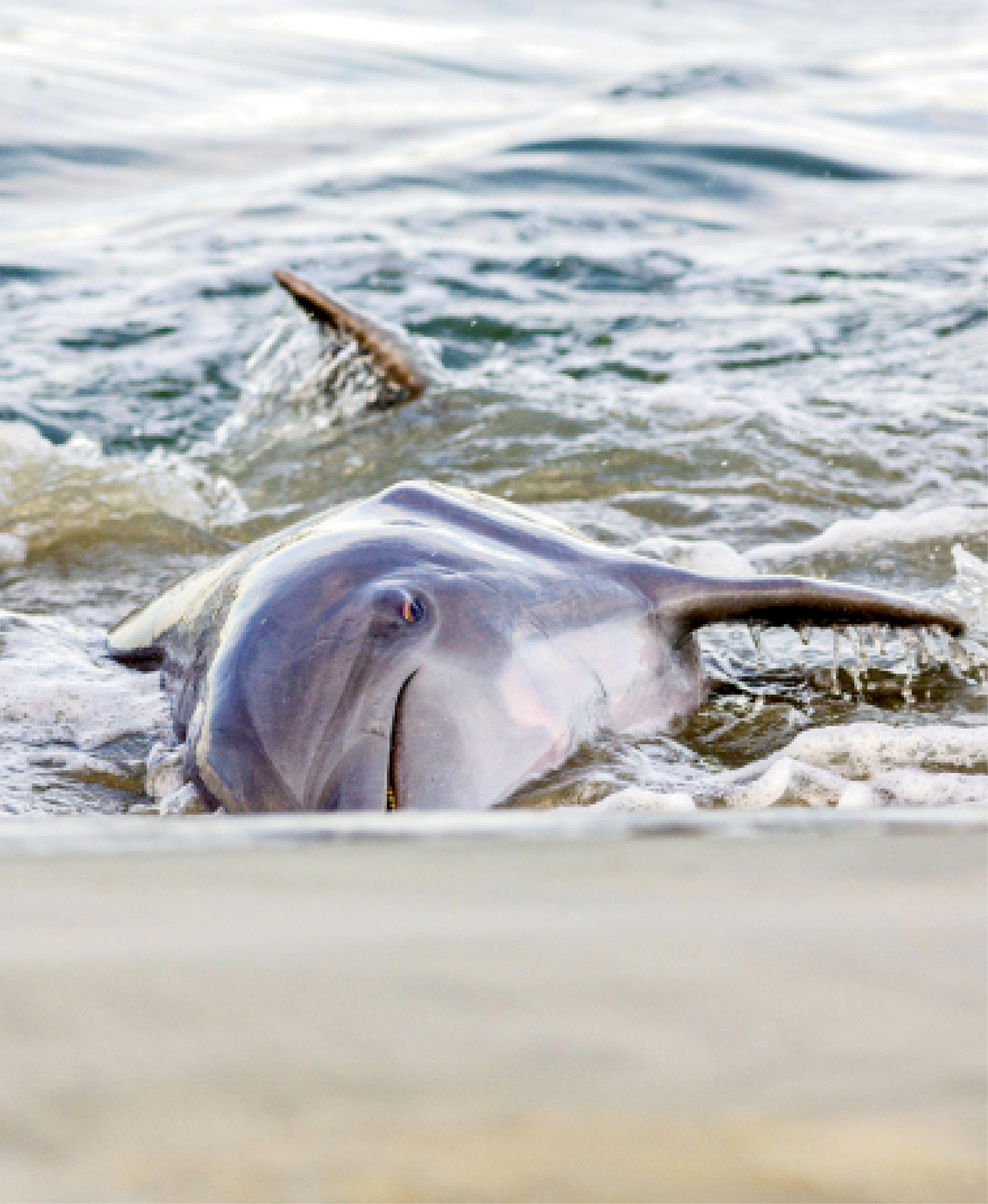 """""""Strand feeding is a unique learned behavior, and Charleston is one of the few places in the world where dolphins are known to do it.""""  —Lauren Rust, Lowcountry Marine Mammal Network"""