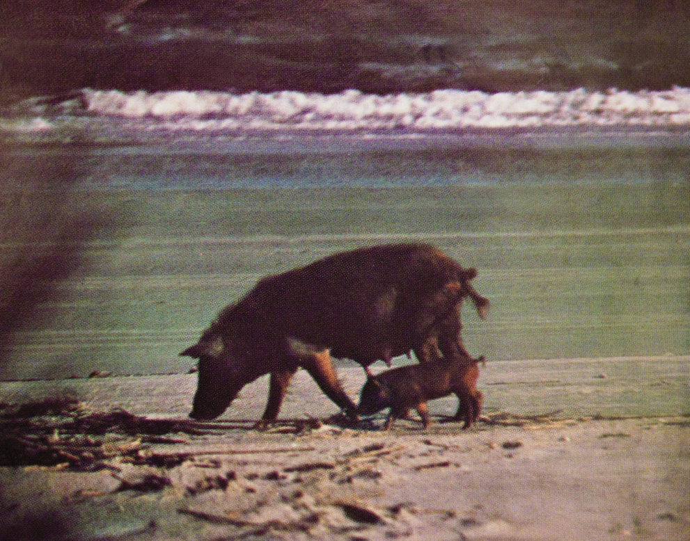 Wild pigs root for some front beach real estate.