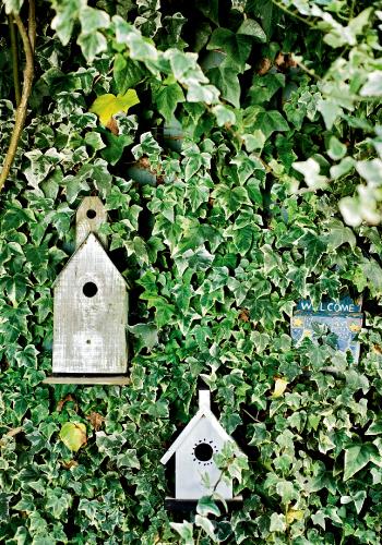 english_ivy_on_fence_0_0.jpg