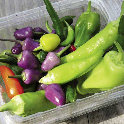 A Chicora Place Community Garden pepper harvest