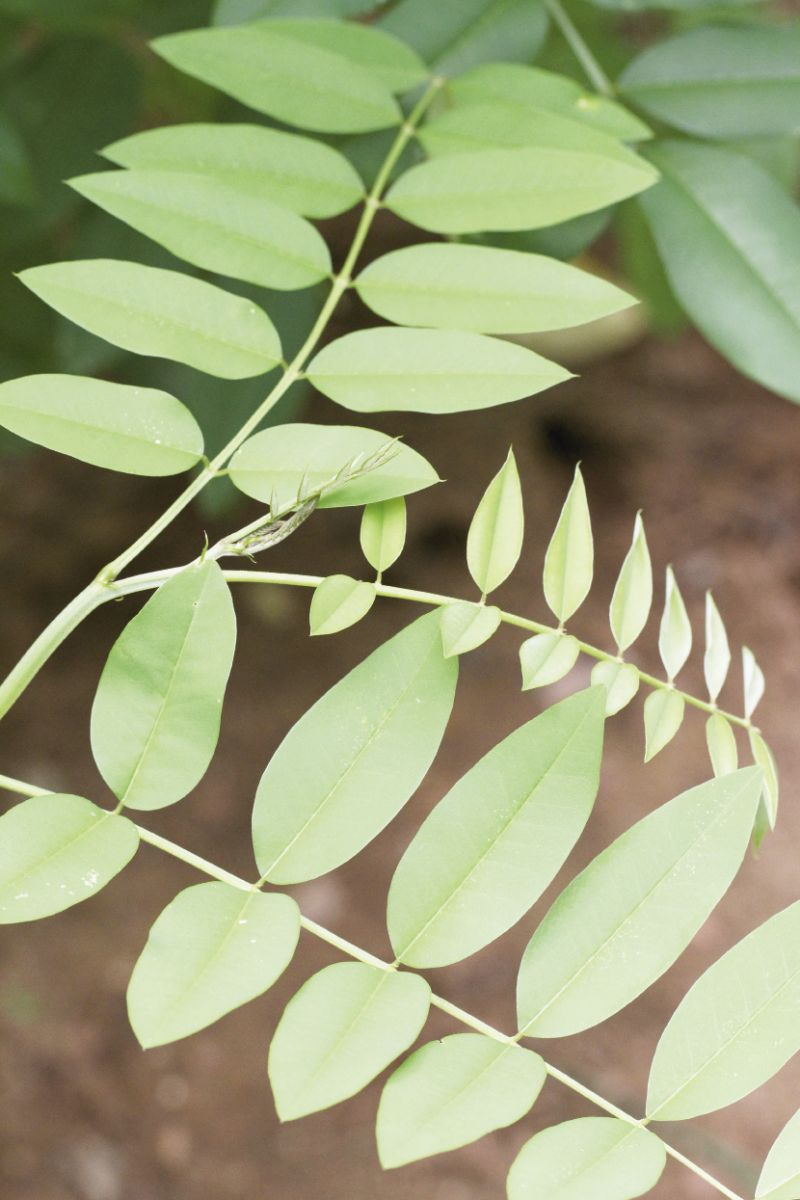 A close-up of indigo leaves