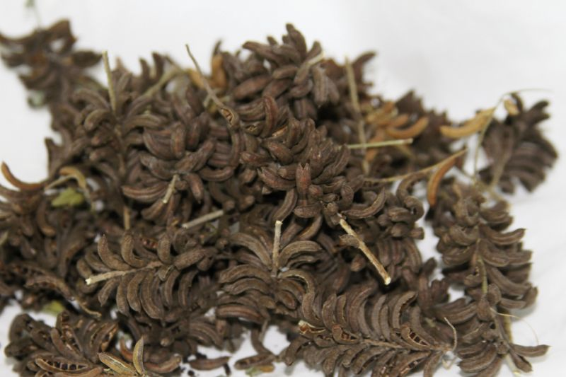 Indigofera suffruticosa seeds saved to plant a new crop