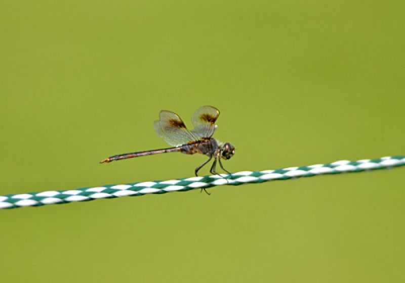 This dragonfly stayed close to the ropes while the players passed.