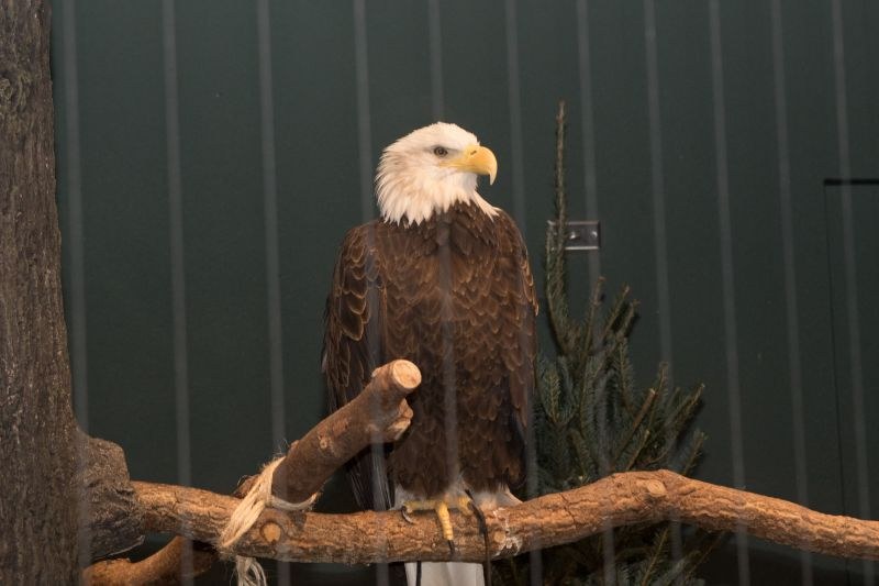 An American bald eagle watches over the event.