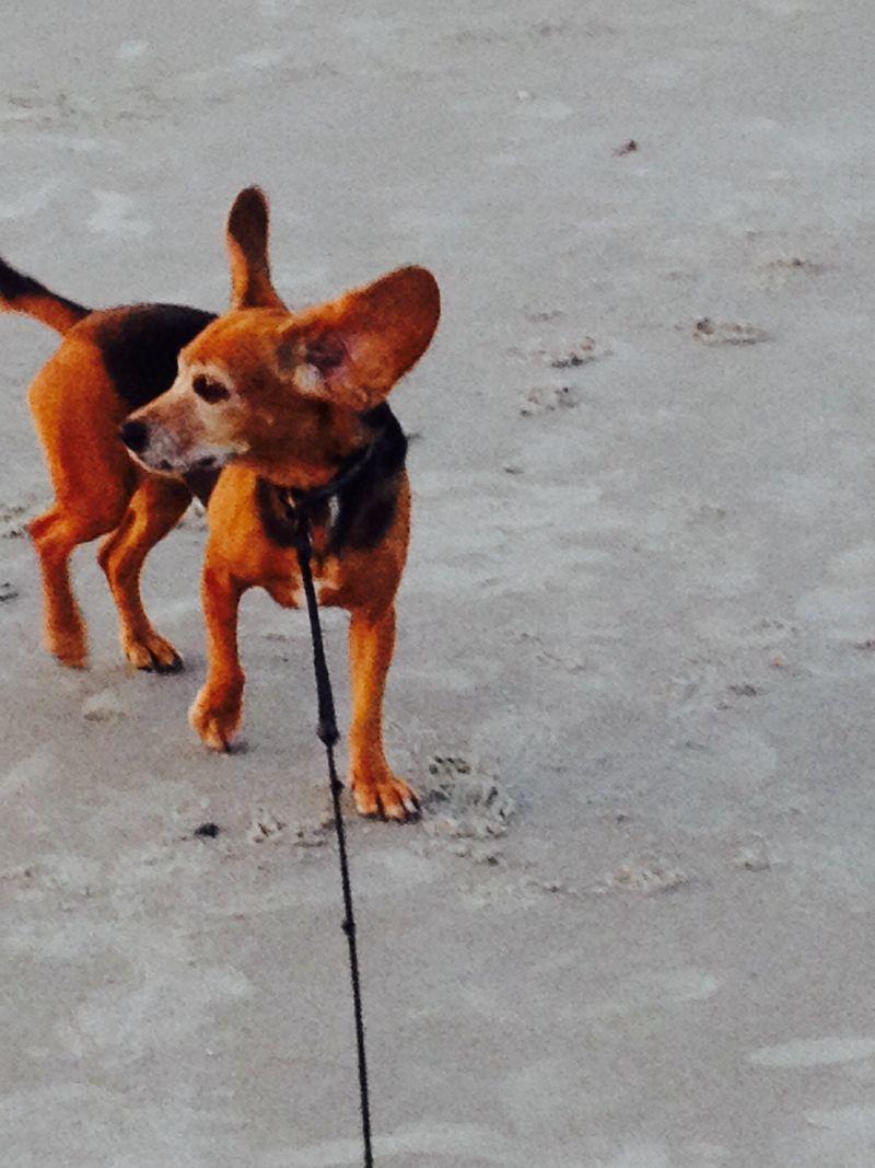 Cash,  Beagle