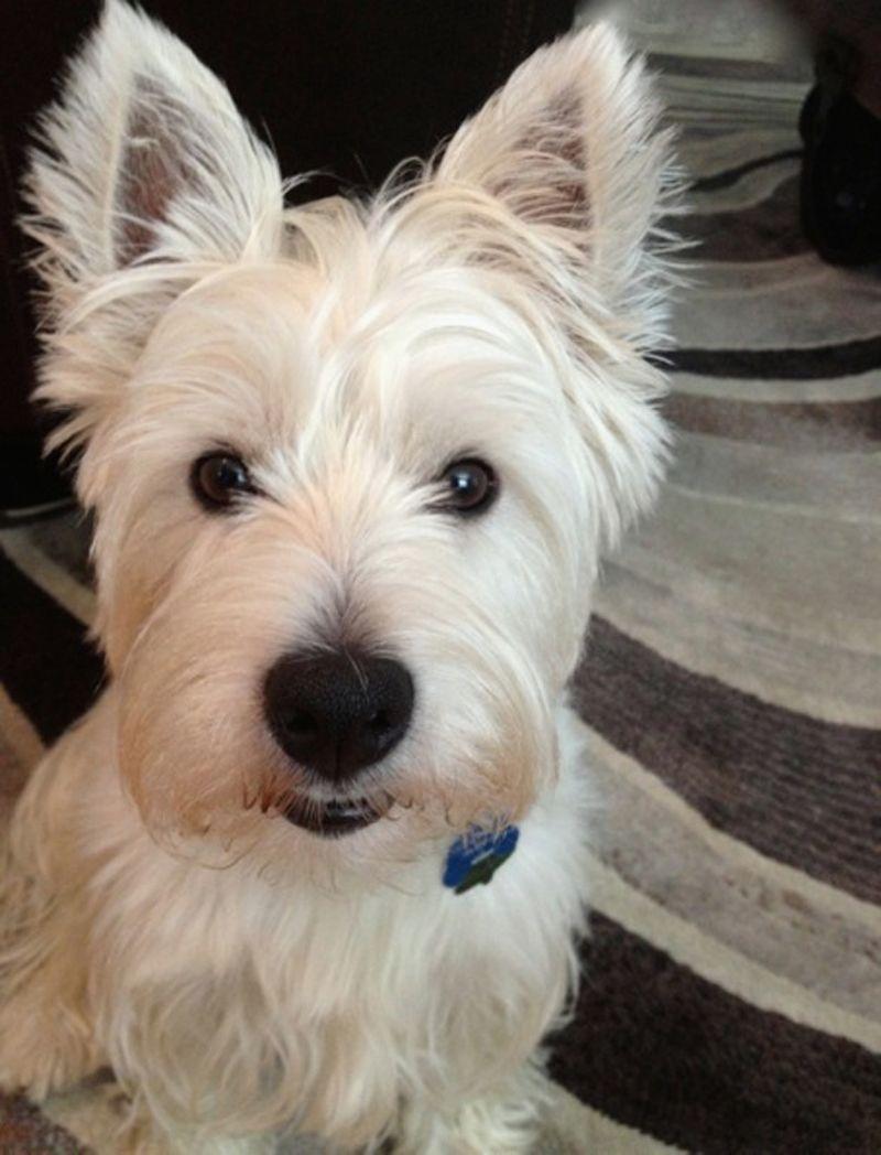 Rutledge, West Highland Terrier