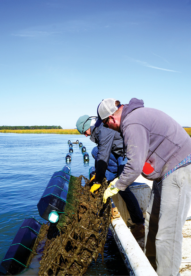 """An alternate approach is to """"farm"""" oysters by growing them in floating cages, which gives local beds time to rebound. Operating near Botany Bay, the Barrier Island Oyster Company (at right, second and third photos from the top) debuted its Sea Cloud singles to local restaurants last year.<br />"""