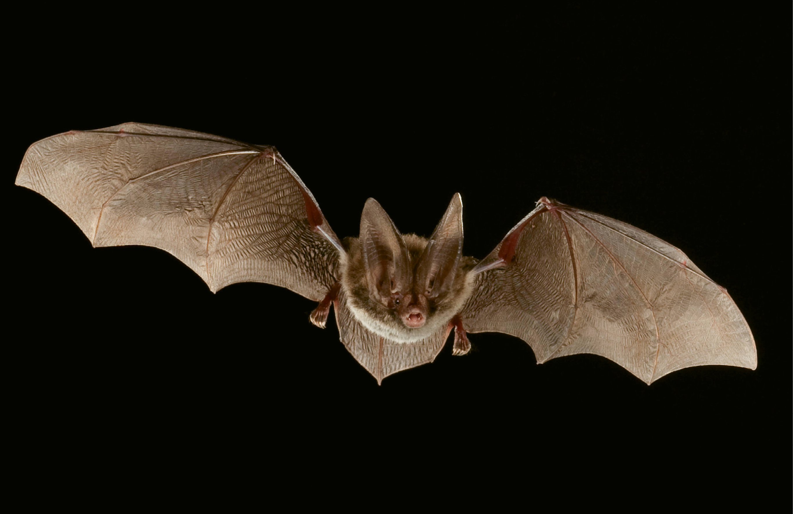 """Rafinesque's Big-Eared Bat (Corynorhinus rafinesquii) - The bat forages for insects, especially moths and mosquitoes, for several hours after dark; Due to its wide distribution, IUCN Red List categorizes the species as being of """"least concern."""" However, four states (Georgia, West Virginia, South Carolina, and Tennessee) have reported population declines, and populations in Indiana and Ohio likely have been eradicated."""