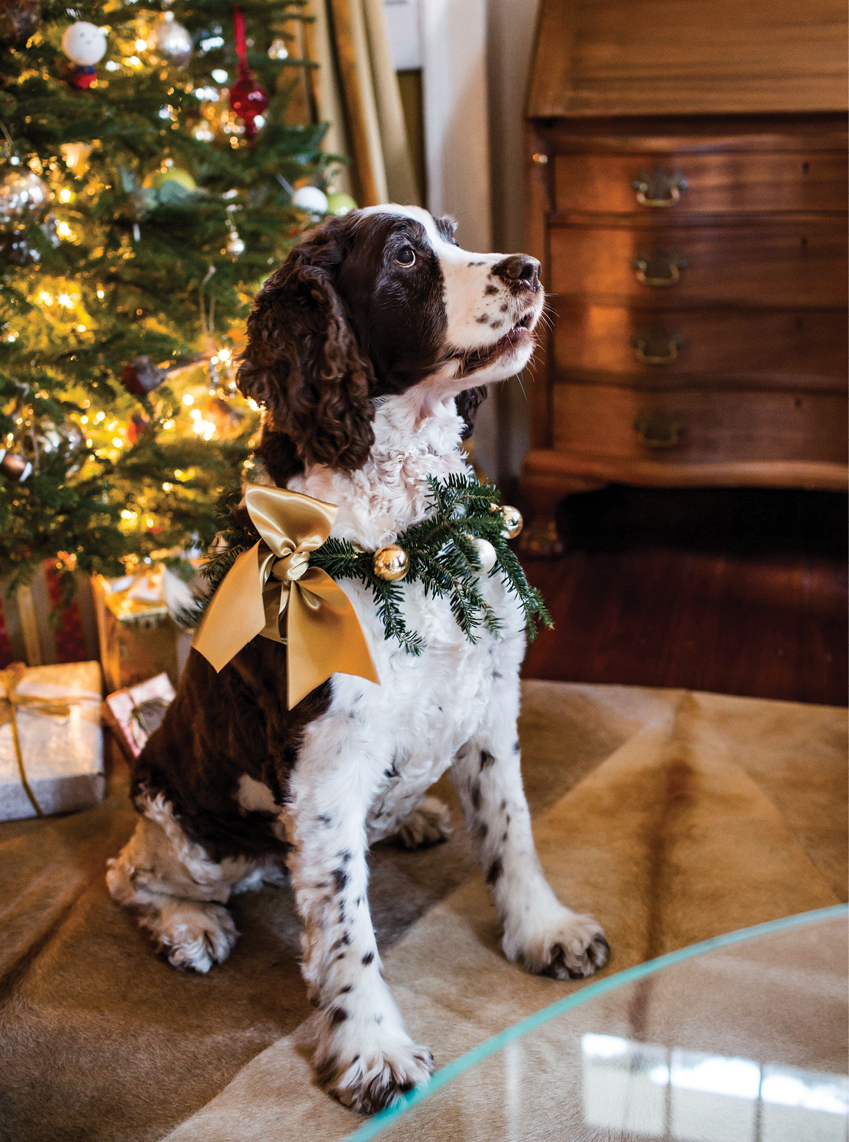 """SHOP AT HOME: Georgia sports a posh collar made from choice Christmas scraps: ribbon from wrapping presents, a few """"borrowed"""" ornaments, and sprigs from the tree."""