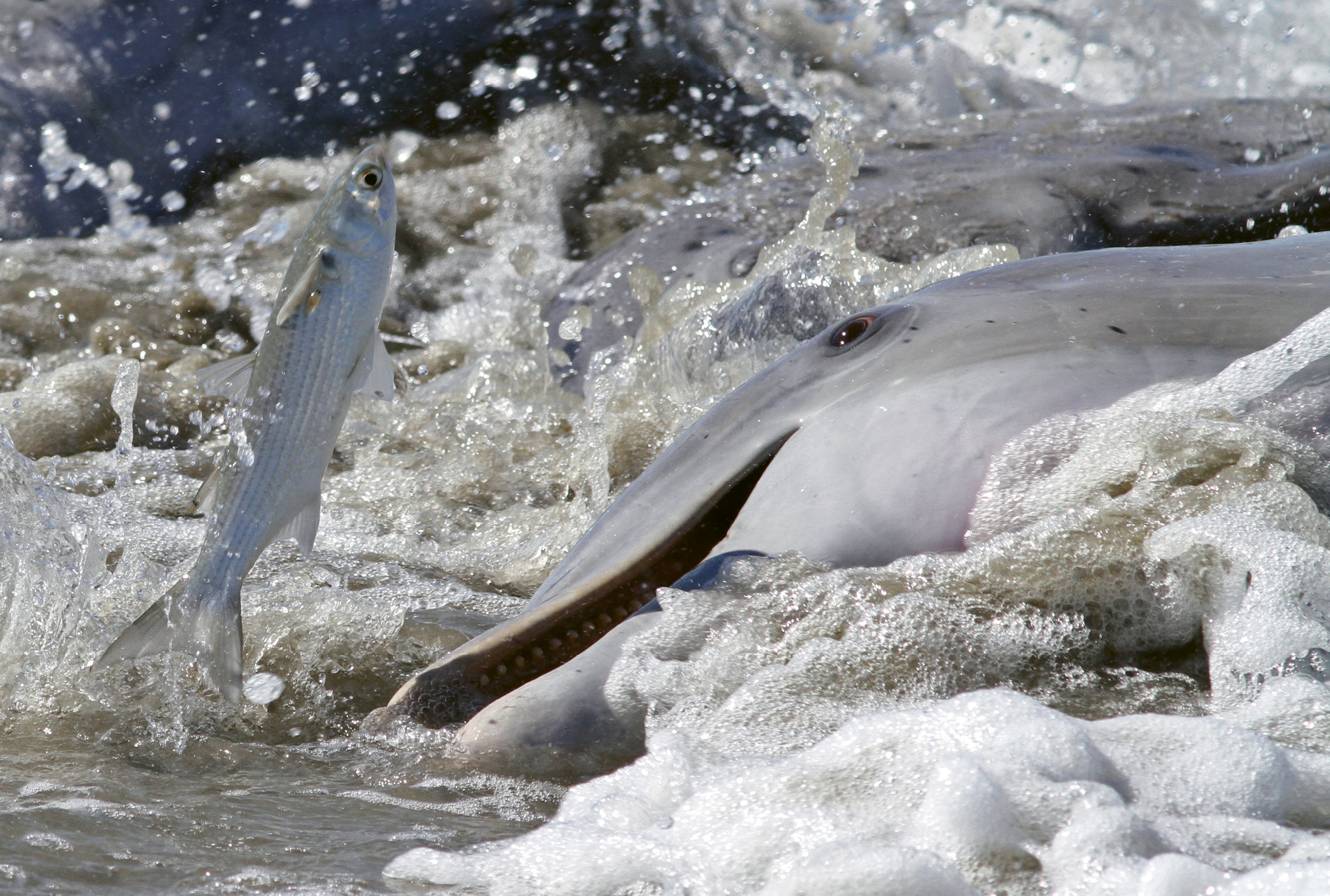 Dolphin Strand Feeding by Kevin M. McCarthy  {Professional category}  - A dolphin aims at a mullet at the mouth of the Kiawah River.