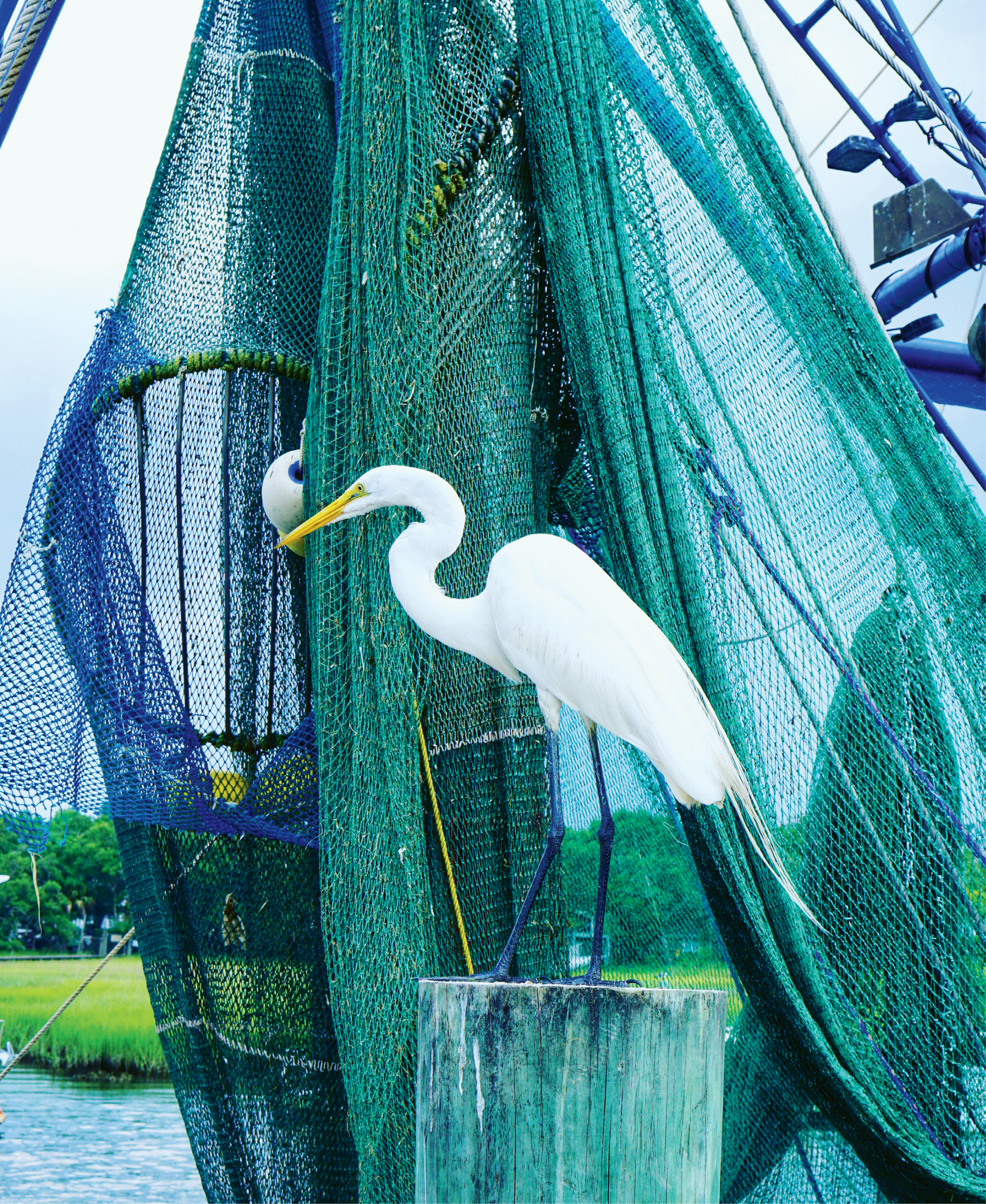 1st Place Amateur Category - Eyeing the Catch of the Day by Marnie Huger  {Amateur category}  - A great egret patiently awaits his next meal on a shrimp boat docked on Shem  Creek last summer.
