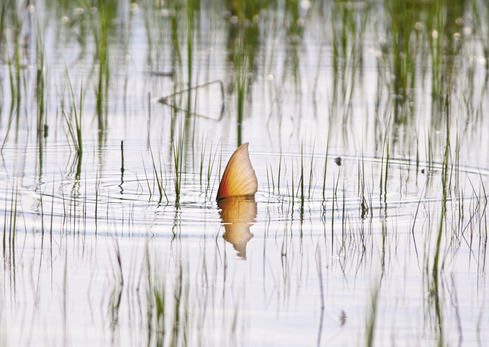 A tailing redfish