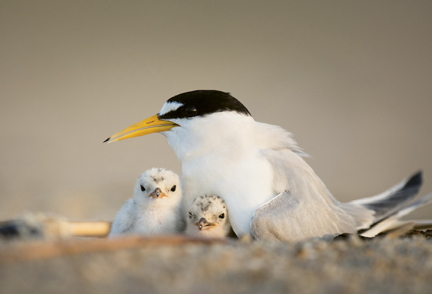 """Least Tern (Sterna antillarum) - In the summer, tern chicks left alone for mere minutes can succumb to the scorching heat. Give them a better shot at survival by not disturbing birds on the beach. Learn more about seabirds at <a href=""""https://www.allaboutbirds.org/"""">https://www.allaboutbirds.org/</a>."""