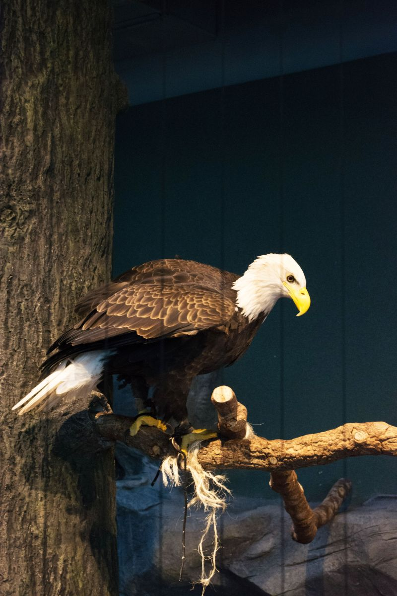 Most exhibits, including the Mountain Forest where this bald eagle resides, were open to guests.