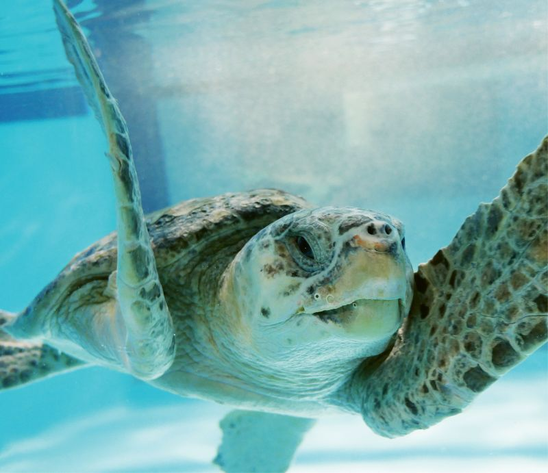"""Loggerhead Sea Turtle (Caretta caretta) - Sea turtle nests in South Carolina are counted and protected by a large team of volunteers up and down the coast. Find a volunteer group near you at <a href=""""http://www.dnr.sc.gov/seaturtle/"""">http://www.dnr.sc.gov/seaturtle/</a>."""